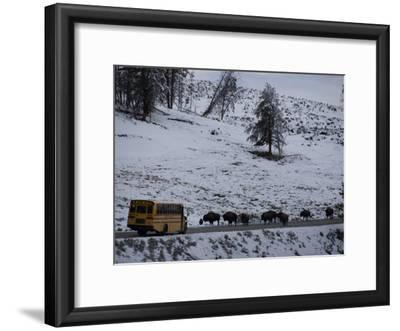 School Bus Stopped by a Herd of Bison in Yellowstone National Park