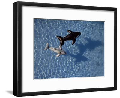 Shark and Whale Pool Floats in a Swimming Pool