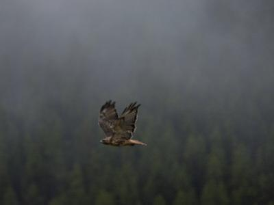 Sunlight Strikes the Tail of a Red-Tailed Hawk in Flight