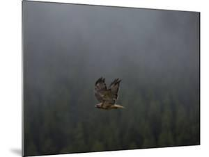 Sunlight Strikes the Tail of a Red-Tailed Hawk in Flight by National Geographic Photographer