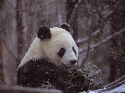 National Zoo Panda Eats Bamboo During a Winter in the Snow-Taylor S^ Kennedy-Photographic Print