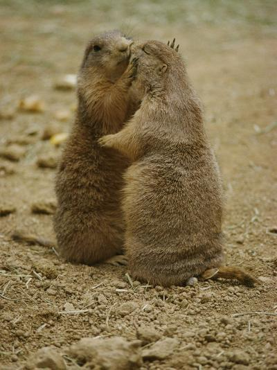 National Zoo Prairie Dogs Show Affection by Kissing-Brian Gordon Green-Photographic Print