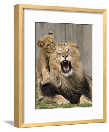 National Zoological Park: African Lion