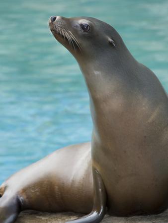 National Zoological Park: California Sea Lion