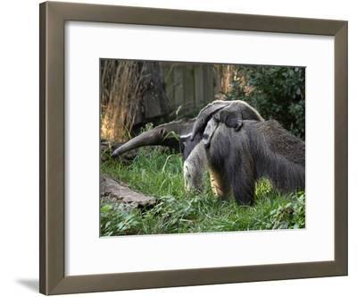 National Zoological Park: Giant Anteater
