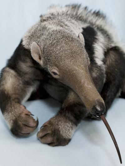 National Zoological Park: Giant Anteater--Photographic Print