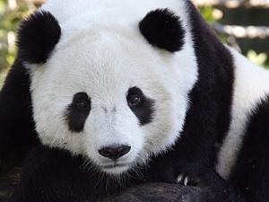 National Zoological Park: Giant Panda