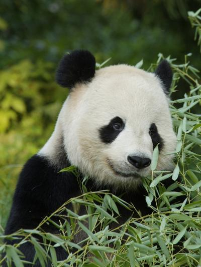 National Zoological Park: Giant Panda--Photographic Print