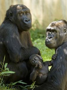 National Zoological Park: Lowland Gorilla