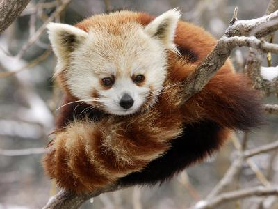 National Zoological Park: Red Panda--Photographic Print