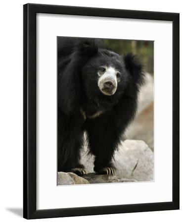 National Zoological Park: Sloth Bear