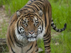 National Zoological Park: Sumatran Tiger