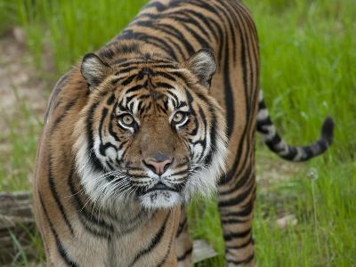 National Zoological Park: Sumatran Tiger--Photographic Print