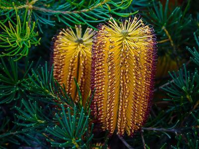 Native Banksia Flower-Lily Zdilar-Photographic Print