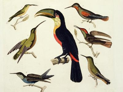"Native Birds, Including the Toucan (Centre), Amazon, Brazil, from ""Le Costume Ancien Et Moderne""-Friedrich Alexander Humboldt-Giclee Print"