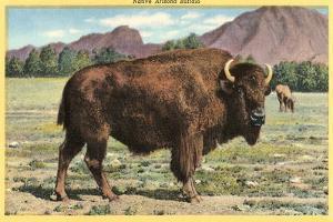 Native Buffalo