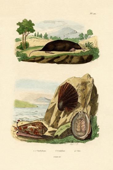 Native Mollusk, 1833-39--Giclee Print
