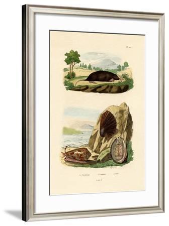 Native Mollusk, 1833-39--Framed Giclee Print