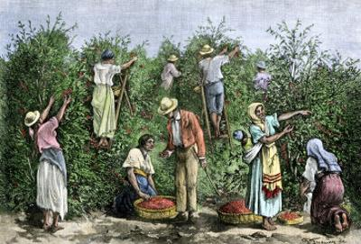 Native Workers Harvesting Coffee in Costa Rica, c.1800