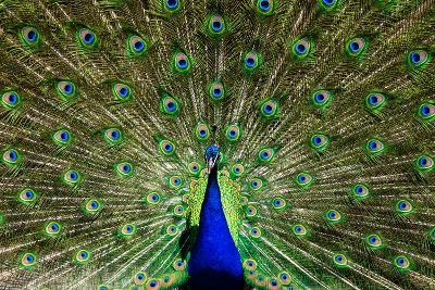 Natural, Symmetric and Colorful Male Peacock in Sunlight-Pascal Halder-Photographic Print