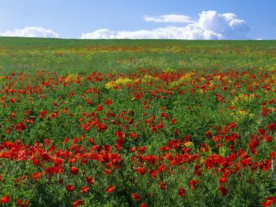 Naturalized Corn Poppies, Cache Valley, Utah, USA-Scott T^ Smith-Photographic Print