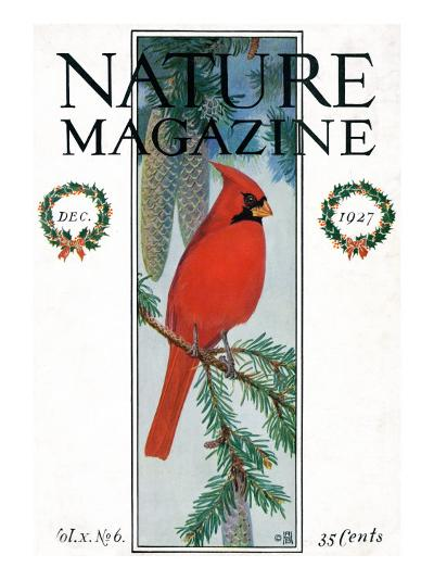 Nature Magazine - View of a Cardinal Perched on a Pine Branch, c.1927-Lantern Press-Art Print