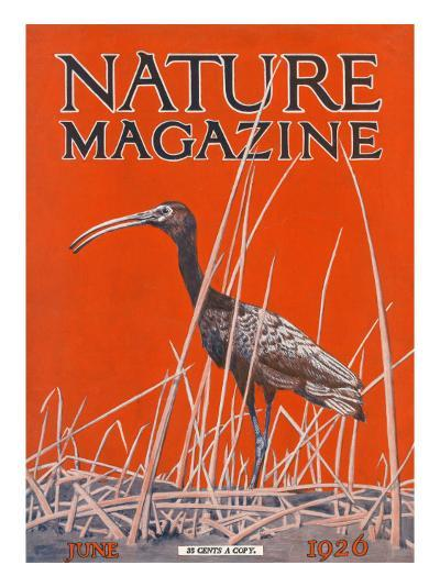 Nature Magazine - View of a Ibis in a Marsh, c.1926-Lantern Press-Art Print