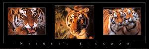 Nature's Kingdom, Tigers