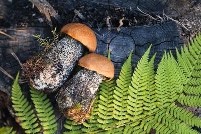 Macro Photo of Orange-Cap Boletus on Wooden Backfround. Wild Mushroom. Leccinum Aurantiacum.