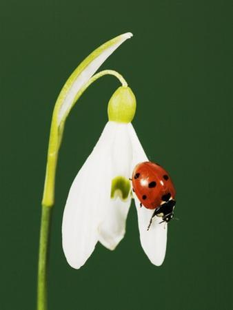 Ladybug on Snowflake Flower by Naturfoto Honal