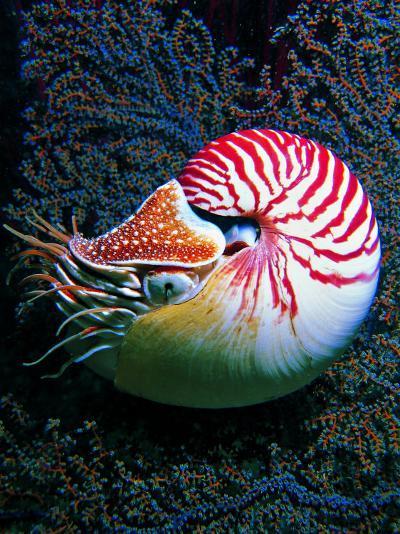 Nautilo (Nautilus Pompilius)-Andrea Ferrari-Photographic Print