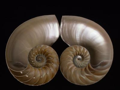 Nautilus Shell Cut in Half to Reveal Compartments-Michael Melford-Photographic Print