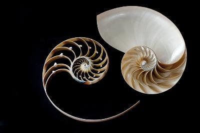 Nautilus Yin Yang-by ana_gr-Photographic Print