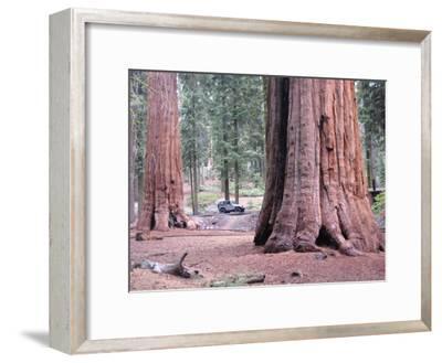 Sequoia Trees 1