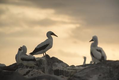 Nazca Booby Colony on Espanola Island in the Galapagos Archipelago of Ecuador-Jeff Mauritzen-Photographic Print