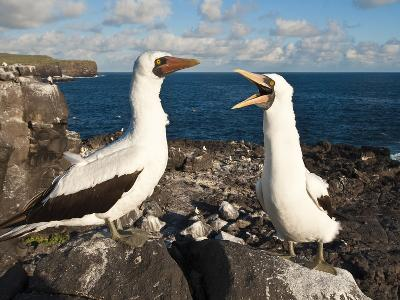 Nazca Booby (Sula Dactylatra), Suarez Point, Isla Espanola, Galapagos Islands, Ecuador-Michael DeFreitas-Photographic Print