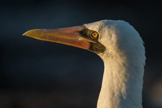 Nazca Booby (Sula Granti), Galapagos Islands, Ecuador-Pete Oxford-Photographic Print
