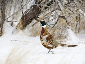 Rooster Ring-Necked Pheasant (Phasianus Colchicus), Montana, USA by Neal Mischler
