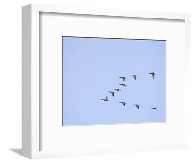 Mallard Ducks Flying in a V Formation (Anas Platyrhynchos). USA
