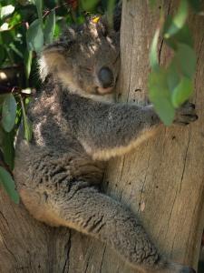 Koala Bear in a Gum Tree, Parndana Wildlife Park, Kangaroo Island, South Australia, Australia by Neale Clarke