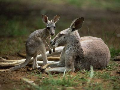 Mother and Young, Western Gray Kangaroos, Cleland Wildlife Park, South Australia, Australia