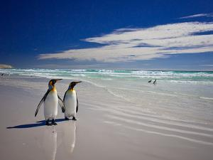 King Penguins At Volunteer Point On The Falkland Islands by Neale Cousland