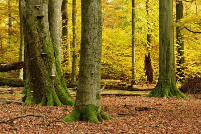 Nearly Natural Mixed Deciduous Forest with Old Oaks and Beeches in Autumn, Spessart Nature Park-Andreas Vitting-Photographic Print