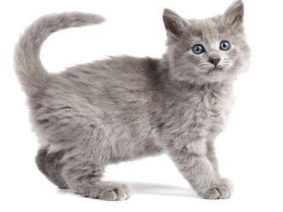 Nebelung Kitten--Photographic Print