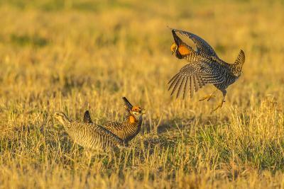 Nebraska, Sand Hills. Male Greater Prairie Chickens Fighting-Jaynes Gallery-Photographic Print