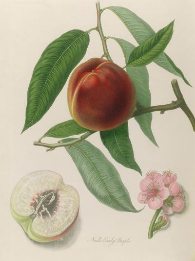 Nectarine: Neals Early Purple-William Hooker-Giclee Print