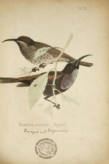 Nectarinia Cruentata, C.1863-Eduard Ruppell-Giclee Print