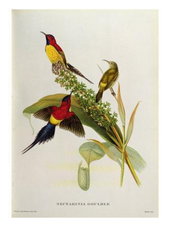 https://imgc.artprintimages.com/img/print/nectarinia-gouldae-from-tropical-birds_u-l-p955w30.jpg?p=0