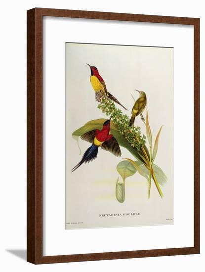 Nectarinia Gouldae from 'Tropical Birds'-John Gould-Framed Giclee Print