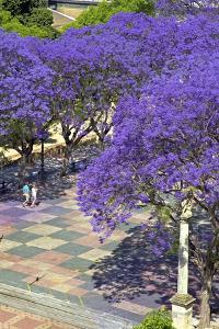 Blossoming Jacaranda Trees by Neil Farrin